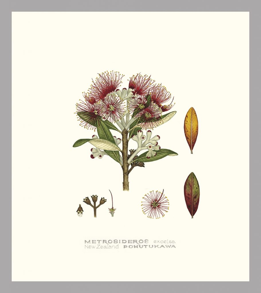 Botanical drawing of NZ Pohutukawa by Jo Ewing