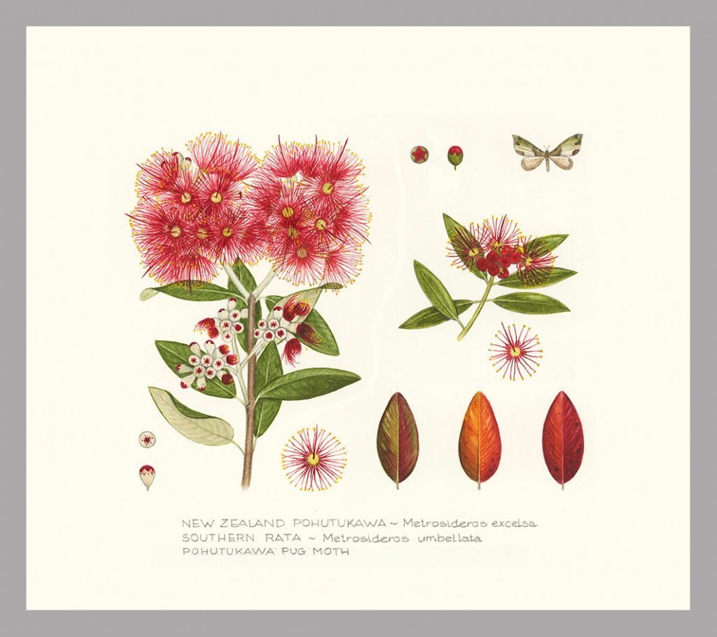 Botanical print showing NZ Pohutukawa & Rata by Jo Ewing